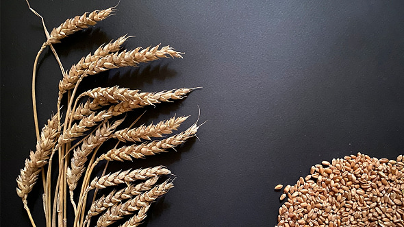 IBEC supports the export of Russian wheat